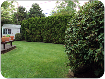 Picture of arborvitaes and lawn