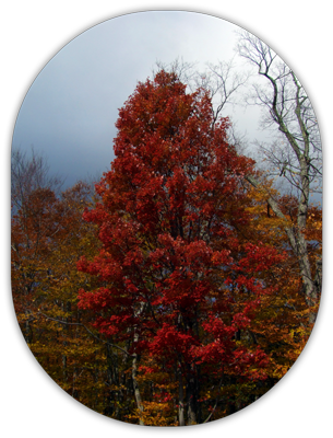 Picture of fall foliage tree