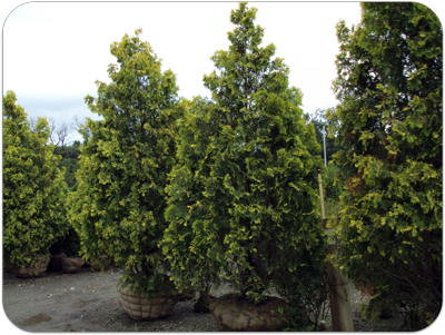 Picture of handpicked arborvitaes at the nursery